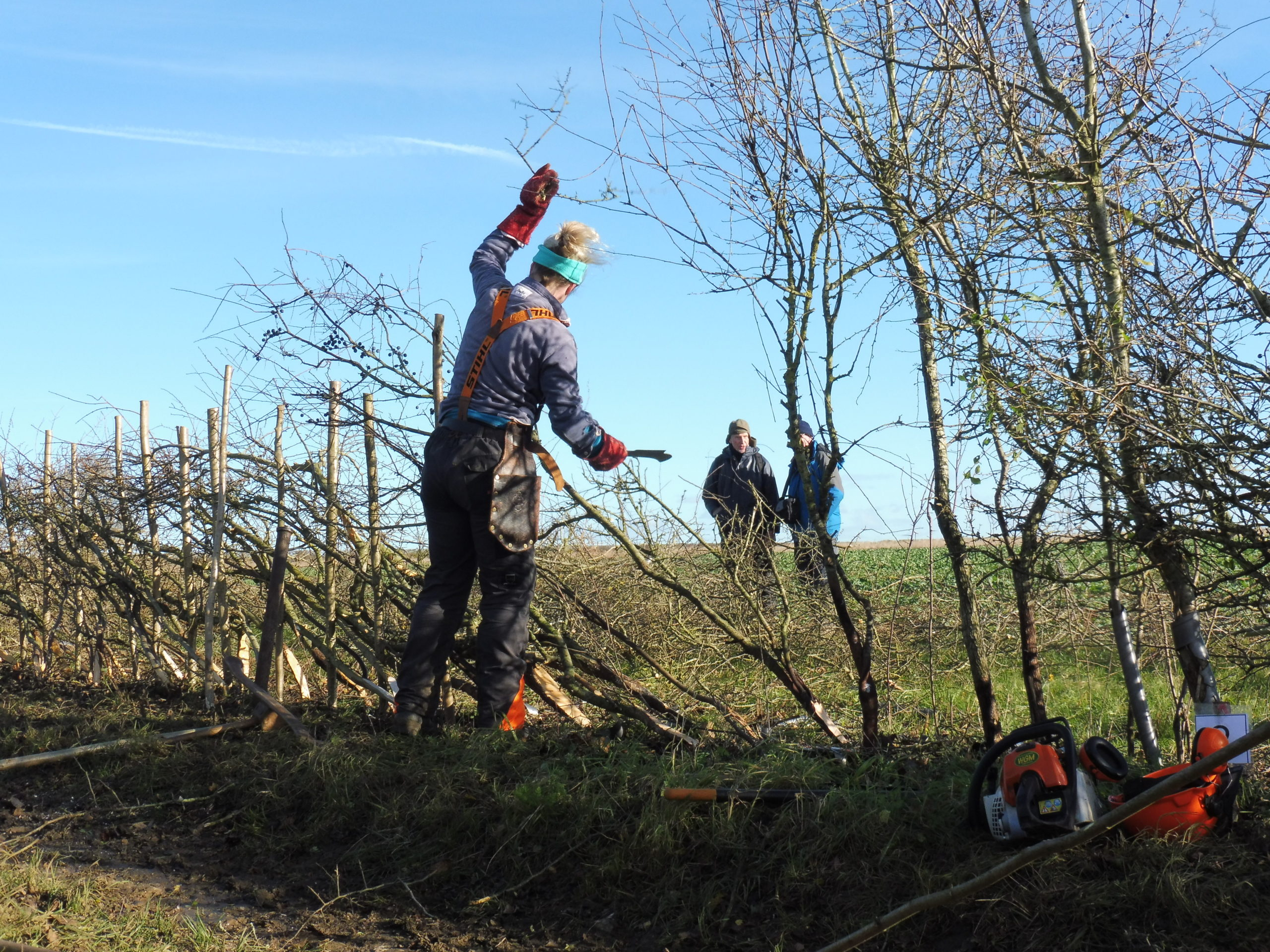 A person practicing Hedgelaying on our Hedgelaying Course